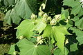 Hibiscus mutabilis - Jardim Botânico Tropical - Lisbon, Portugal - DSC06517.JPG
