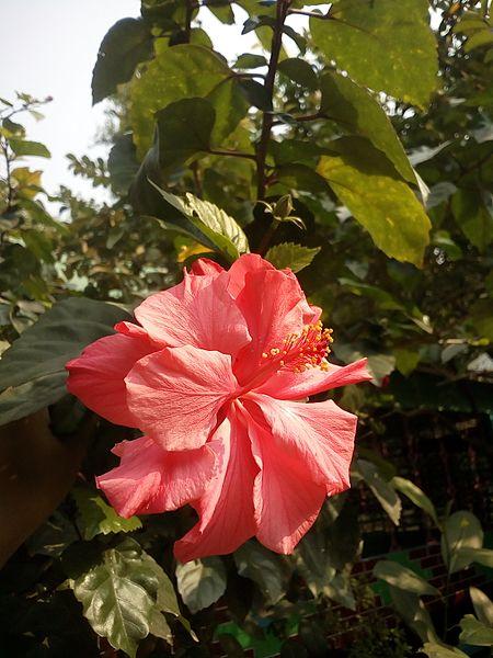File:Hibiscus rosa-sinensis (Bengali - জবা ফুল) - 2.jpg