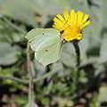 Hieracium tomentosum-IMG 5618.jpg
