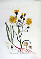 Hieracium umbellatum — Flora Batava — Volume v3.jpg