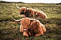 Highland-cattle-1161694.jpg