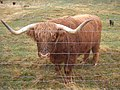 Highland cattle in New Zealand.jpg