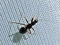 Himacerus mirmicoides (Nabidae) (Ant Damsel Bug) - (nymph), Elst (Gld), the Netherlands.jpg