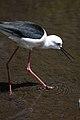 Himantopus himantopus -Pensthorpe Nature Reserve-8c.jpg