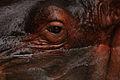 Hippopotamus Eye (3847094793).jpg
