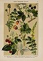 Hoffmann-Dennert botanischer Bilderatlas (Taf. 51) (6425007305).jpg