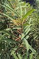 Homonoia riparia.jpg