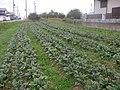 Horta de beterraba do AKio Nakaema - panoramio.jpg