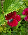 Housefly on Sweet William Plant 163457.jpg