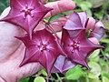 Hoya macgillivrayi by Scott Zona - 001.jpg
