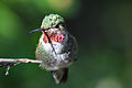 Hummingbird (1) - Flickr - Joe Parks.jpg