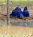 Hyacinth Macaws (Anodorhynchus hyacinthinus) drinking ... (31489408296).jpg