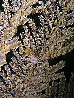 Hyastenus bispinosus (Arrow crab) on Aglaophenia cupressina (Stinging hydroid).jpg