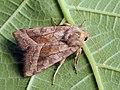 Hydraecia micacea - Rosy rustic - Совка лиловатая яровая (41129664671).jpg