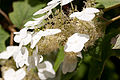 Hydrangea quercifolia - Fleurs.jpg