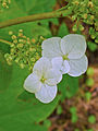 Hydrangea quercifolia 003.JPG