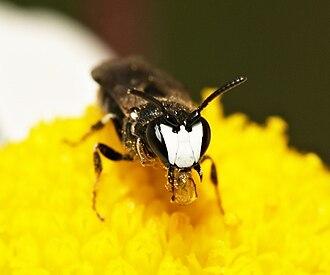 Hylaeus (bee) - male H. nigritus