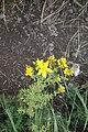 Hypericum perforatum L. fam. (Hypericaceae).jpg