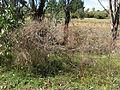Hypericum perforatum plant10 (14629224701).jpg