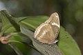Hypolimnas bolina male of Kadavoor.jpg