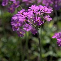 IMG 6305-Primula farinosa.jpg