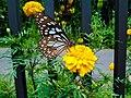 IMG Butterfly.jpg
