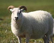 Icelandic sheep summer 06