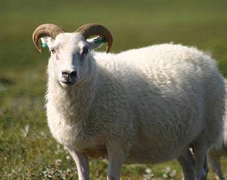 Icelandic sheep - An Icelandic sheep