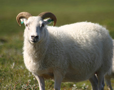 An Icelandic sheep - Iceland