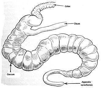 Human vestigiality - Ileum, caecum and colon of rabbit, showing Appendix vermiformis on fully functional caecum.