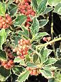 Ilex aquifolium (Jardin des Plantes de Paris).jpg