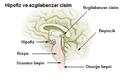 Illu pituitary pineal glands-az.png
