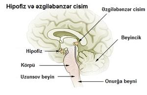 Azərbaycan: İnsanın normal anatomiyası - daxil...
