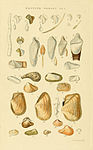 Illustrated Index of British Shells Plate 01.jpg