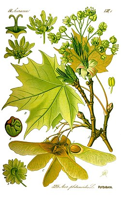 Illustration Acer platanoides0 clean.jpg
