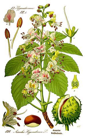Aesculus hippocastanum - Image: Illustration Aesculus hippocastanum 0 clean