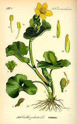 Pelkinė puriena (Caltha palustris)