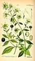 Illustration Cucubalus baccifer0.jpg