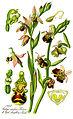 Illustration Ophrys fuciflora1.jpg