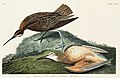 Illustration from Birds of America (1827) by John James Audubon, digitally enhanced by rawpixel-com 208.jpg