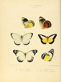 Illustrations of new species of exotic butterflies Pieris V.jpg