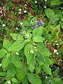 Impatiens parviflora - Flickr - peganum.jpg