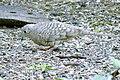 Inca Dove (25766616203).jpg
