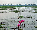 India - Kerala - 025 - red lillies on the backwaters (2068540249).jpg