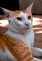 Indian Cat.jpg