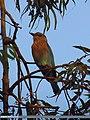 Indian Roller (Coracias benghalensis) (15271317004).jpg