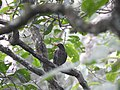 Indian blackbird.jpg