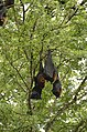Indian flying fox (Pteropus giganteus) from Ranganathittu Bird Sanctuary JEG4426.JPG
