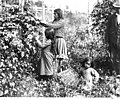 Indian hop pickers in White River Valley (CURTIS 1027).jpeg