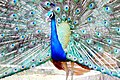Indian peafowl at Chittagong Zoo (03).jpg